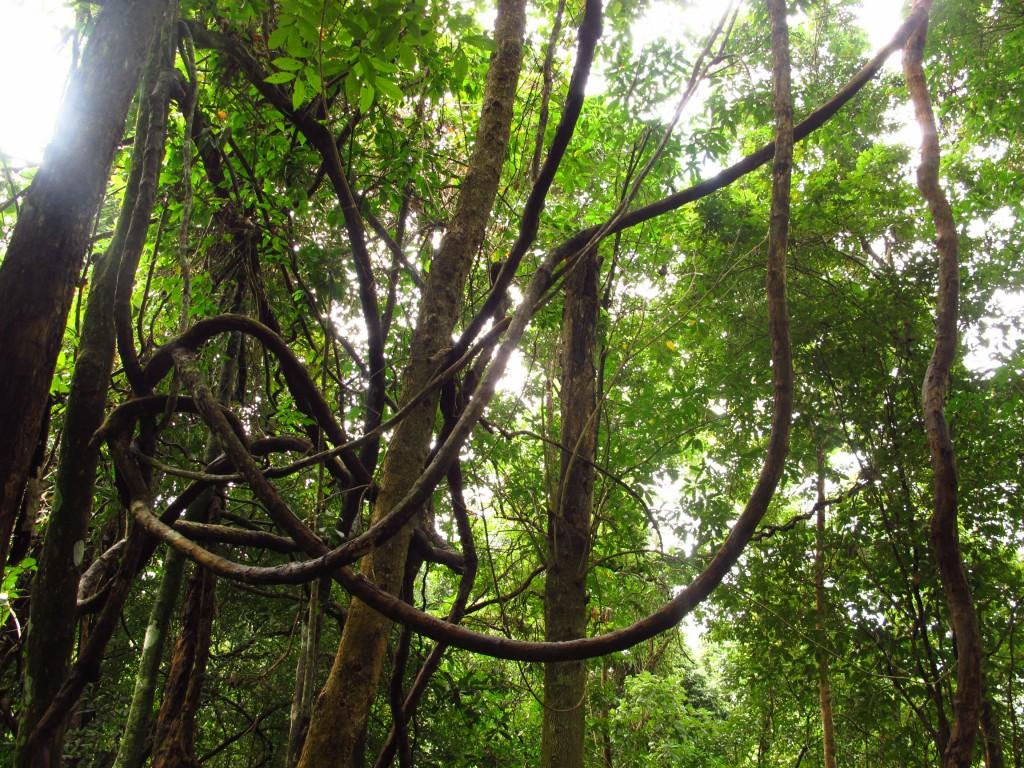 Tarzan's preferred means of transport - Lianas